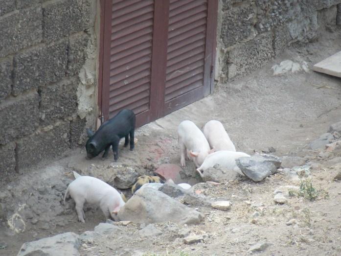 cerdos-cidade-velha