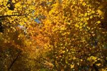 Les feuilles en or