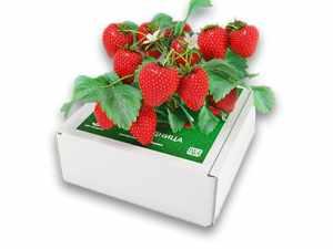 Сказочный сбор чудо ягодница клубника купить