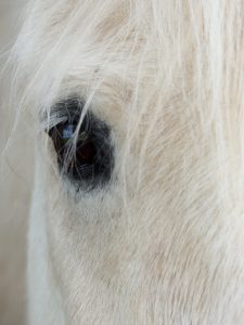 eye of grey and white horse