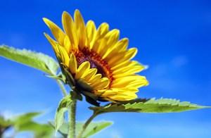 sun-flower-1536088_1280