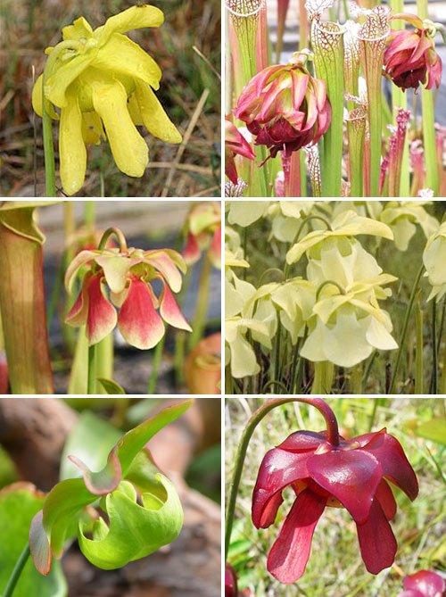 цветы саррацении