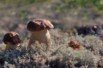 Туристы застали на Байкале сезон сбора белых грибов