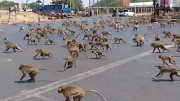 Банды диких обезьян устроили массовую драку в Бангкоке