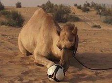 Верблюд ставит на Уругвай