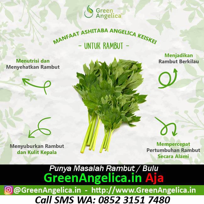 Obat Rambut Rontok Alami green angelica