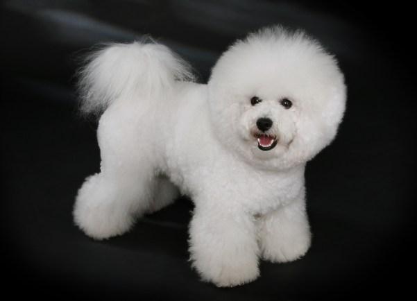 Bichon Frise (best dog breeds)