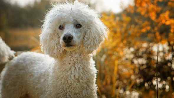 Poodle (Best Dog Breeds)