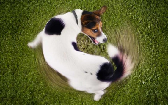 Teach Your Dog to 'Spin'
