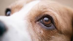 Dog Eyes method