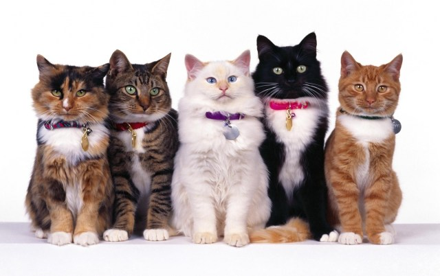 Different classes of cats (What you need to know about cat shows)