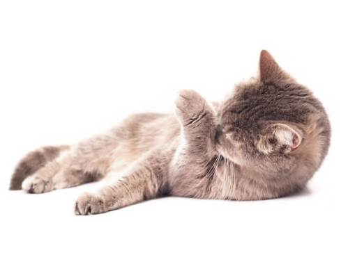 Due to Excessive Grooming (HAIR LOSS IN CATS)