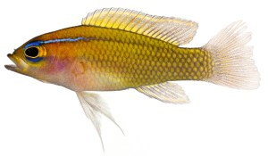 Lipogramma trilineatum (Threeline Basslet) Belize Larval-Fish Group