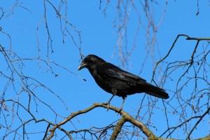 crow story kids bookosmia