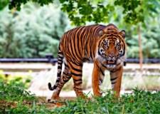 Real Hero – My Grandfather Versus A Tiger | Bookosmia
