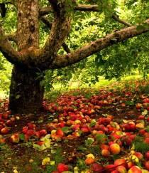 Apple Tree & Apples on Ground - Copy