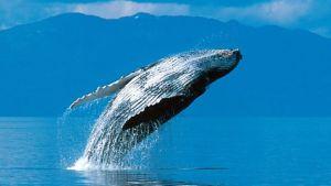 Mirar ballenas desde un bote es increíble.