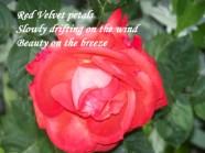 red-velvet-petal-haiku