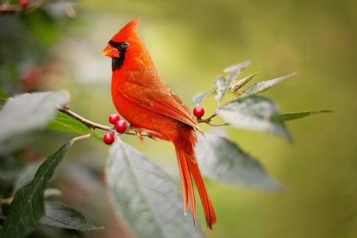 cardinal-2872966_1920