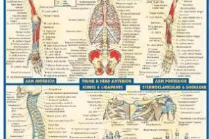 BarCharts QuickStudy Anatomy Volume 2 PDF