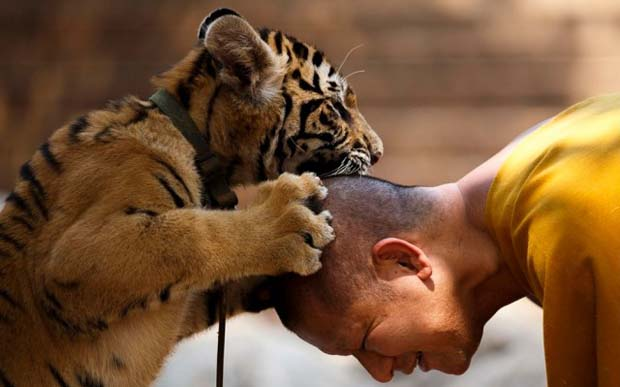 Tiger-Temple-in-Thailand_0-640x426