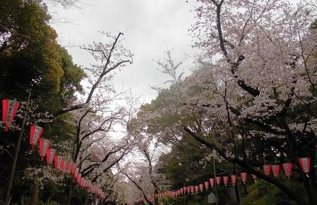 上野の桜… in 2016