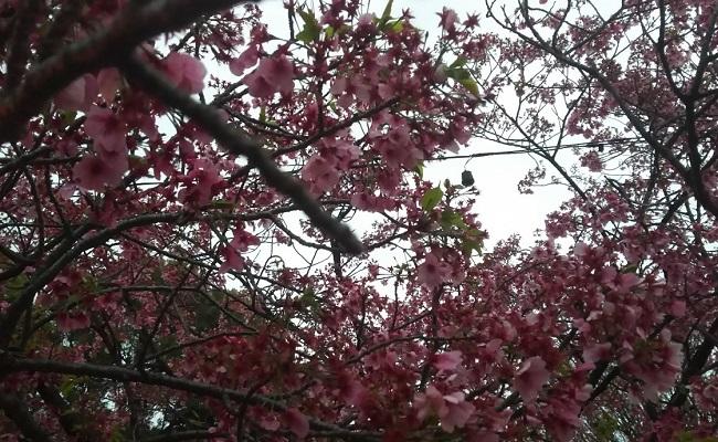 上野の桜 in 2017