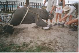 Cruel training of elephants begins at a young age.