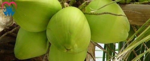 coconut young