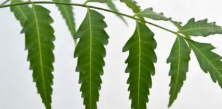 neem-leaf