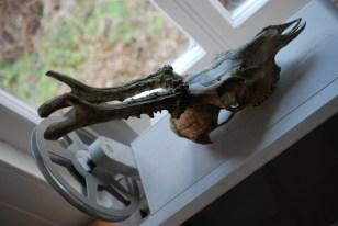 roe deer skull
