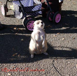 Is that meerkat on a leash?