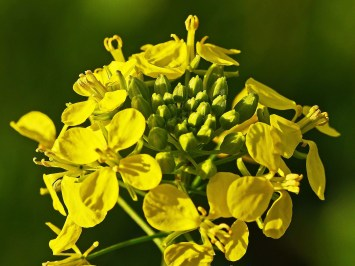 Mustard Flower in the context of stop drinking