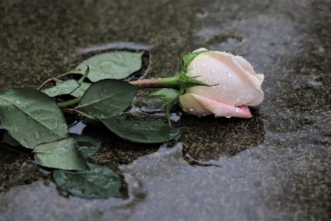 Fallen Rose in the Rain