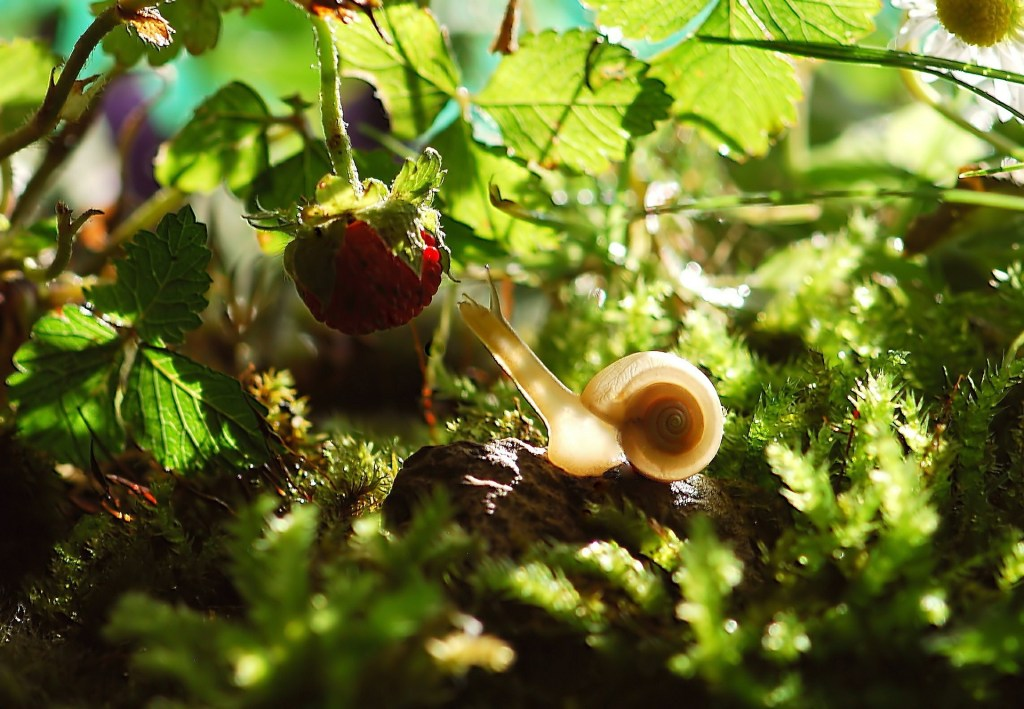 Never Give up! Snail in garden reaching for Berry