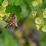 Почему в России массово гибнут пчёлы