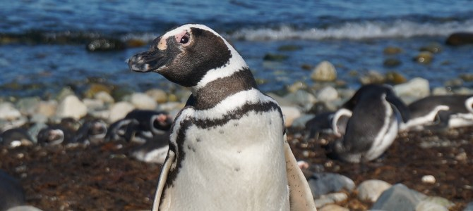 Visiting the Penguins of Isla Magdalena – Chile