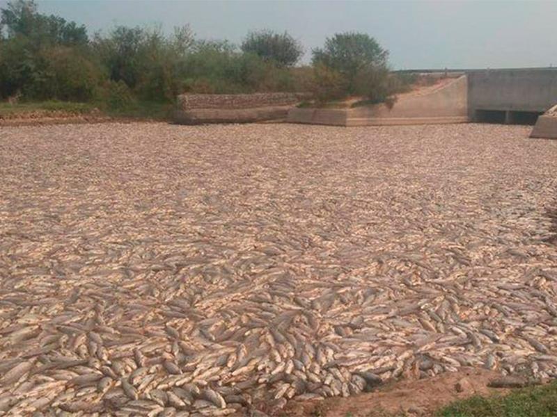 Formosa: miles de peces muertos por un cierre de compuertas