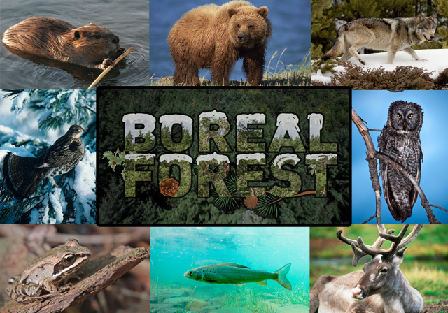 Along with polar bears and beluga whales, harbor seals are among the best known animals along the northern manitoba coastline. Zoologist Boreal Forest Of Canada Alaska