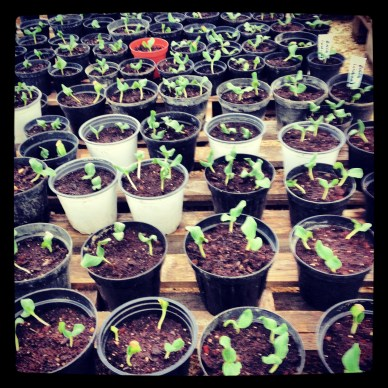 We just thinned out melon and squash sprouts that had better germination than we'd expected.