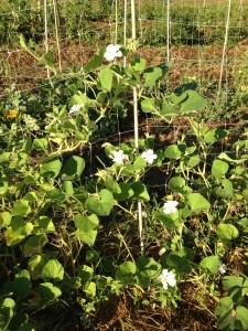 cucuzza plant