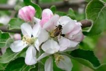 Пышно расцвел яблоневый сад