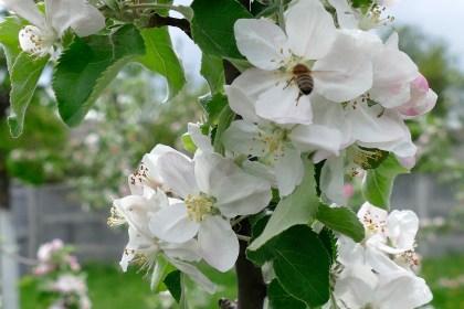 Труженица - пчела