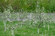 Молодые яблоньки