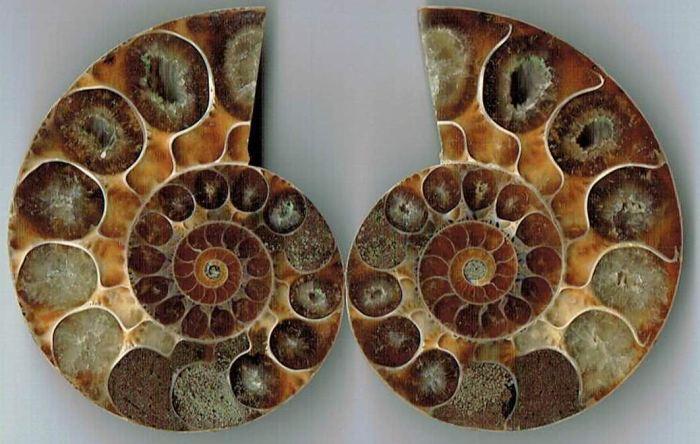 Nautilus Rechts- und Links-Spirale