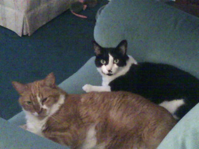 Duncan (the orange tabby), with his girlfriend Jasmine