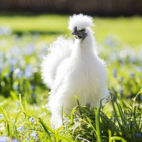 https://www.purelypoultry.com/images/silkie-bantam-chickens.jpg
