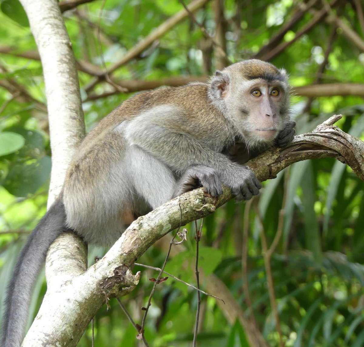 Long tailed macaque at Bako National Park