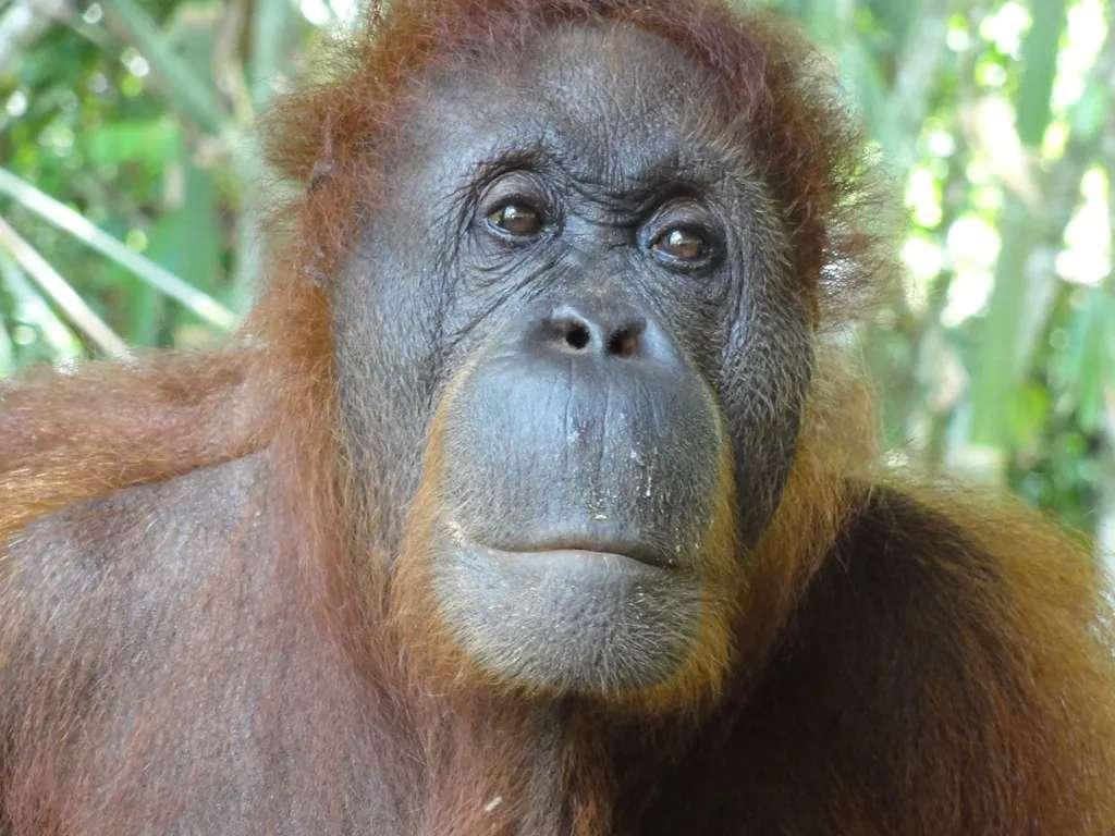 Orangutan at Semenggoh, Sarawak