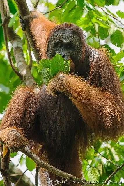 orangutan at lubok Kasai